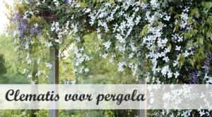 Klimplant voor pergola - Clematis