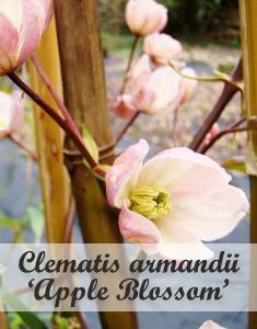 Groenblijvende klimplant Clematis armandii Apple Blossom