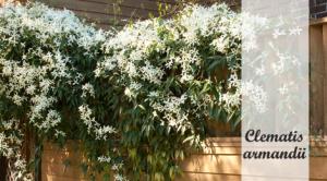 Clematis armandii: Klimplant om in de schaduw te planten