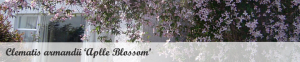 Klimplant schaduw: Clematis armandii 'Apple blossom'
