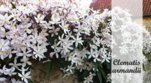 Klimplant schaduw: Clematis armandii