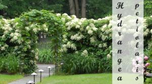 Klimhortensia Klimplant om in de schaduw te planten