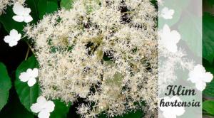 Hydrangea petiolaris kopen