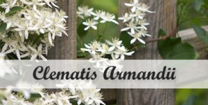 Klimplant schaudw Clematis Armandii