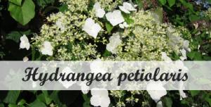 Klimplant voor in de schaduw Hydrangea petiolaris