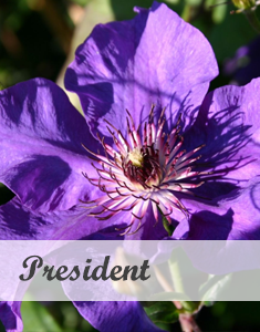 Klimplant voor Pergola - Clematis President