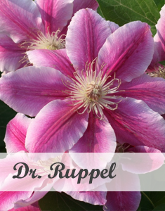 Clematis Dr. Ruppel - Klimplant voor pergola