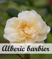 Klimroos Alberic barbier