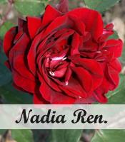 Klimroos Nadia renaissance