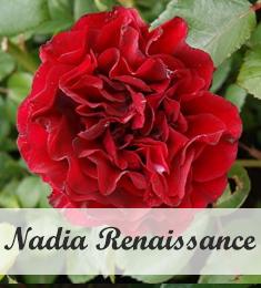 Rosa Nadia Renaissance als klimroos