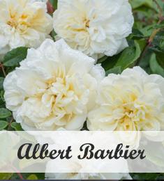 Albert Barbier Klimroos te koop