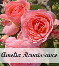 Klimroos Amelia Renaissance kopen