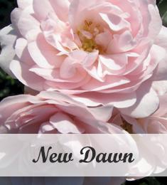 New Dawn klimroos te koop