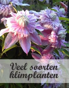 Soorten klimplanten: Clematis, Wisteria, Passieflora, Lonicera, Hedera,...