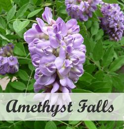 Wisteria Amethyst falls klimplant voor pergola