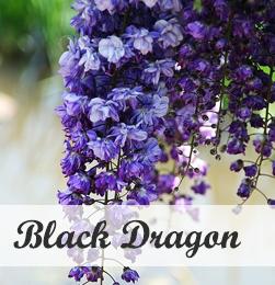 Wisteria Black dragon - klimplant voor pergola