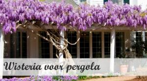 Klimplant voor pergola - Wisteria