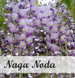 Wisteria Naga Noda - klimplant voor pergola