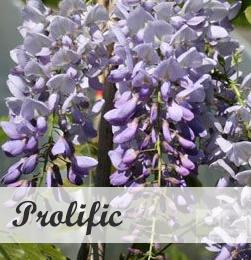 Wisteria Prolific klimplant voor pergola